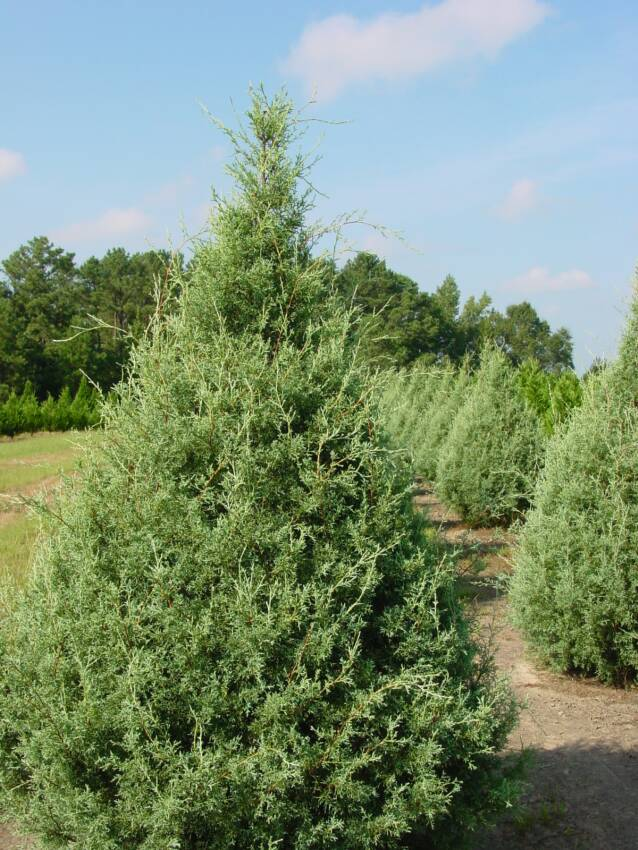 Live Christmas Tree Types
