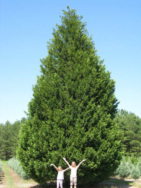 cypress mature personals Mature size the  the leyland cypress tree is a natural hybrid that came about when a monterey cypress accidentally crossbred with an alaskacedar at england's .