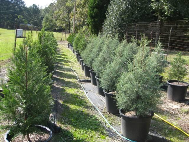 Christmas Tree Farm Alabama