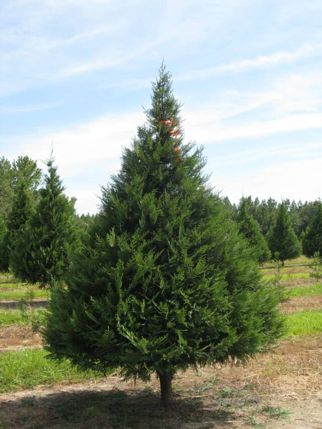 Southern Christmas Tree Association