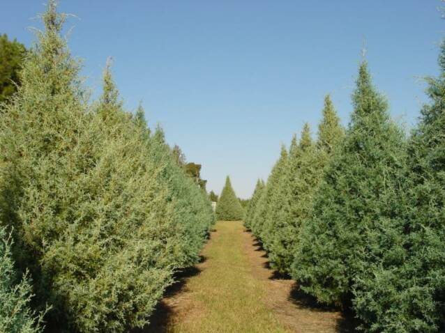 christmas tree farm - Christmas Tree Farming