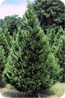 10 Ft Real Christmas Tree
