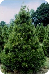 Real Christmas Trees Prices